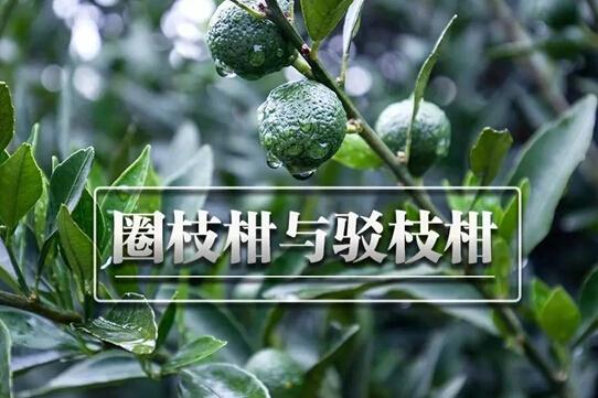 圈枝柑和驳枝柑有什么区别?
